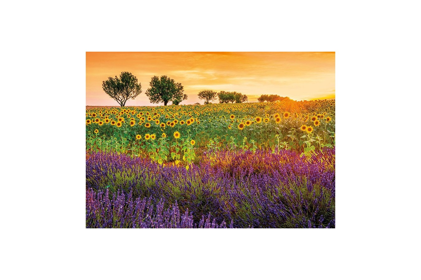 Puzzle Educa - Field of sunflowers and lavender, 1500 piese, include lipici puzzle (17669) imagine