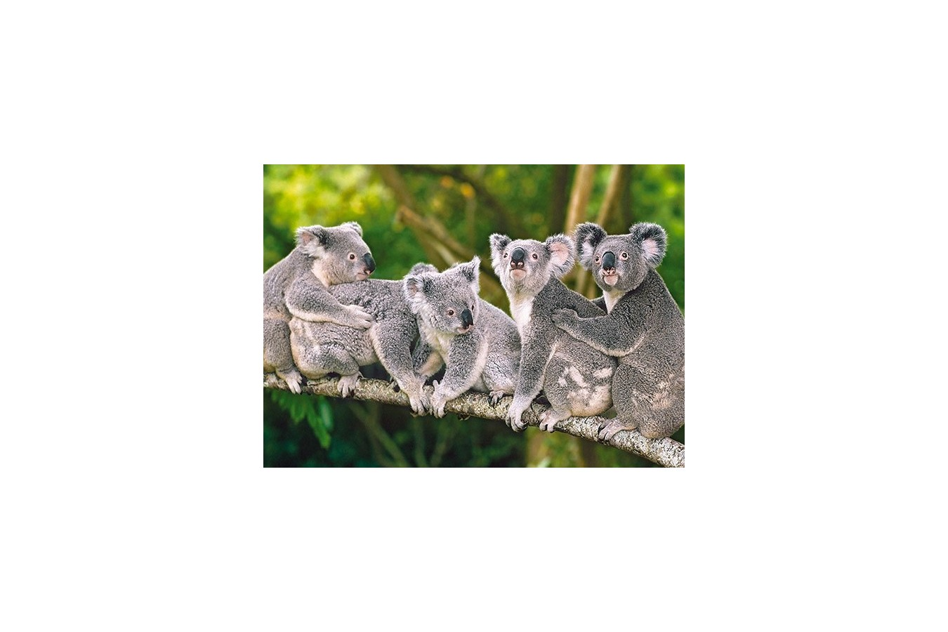 Puzzle Castorland - Family Of Koala, 120 Piese
