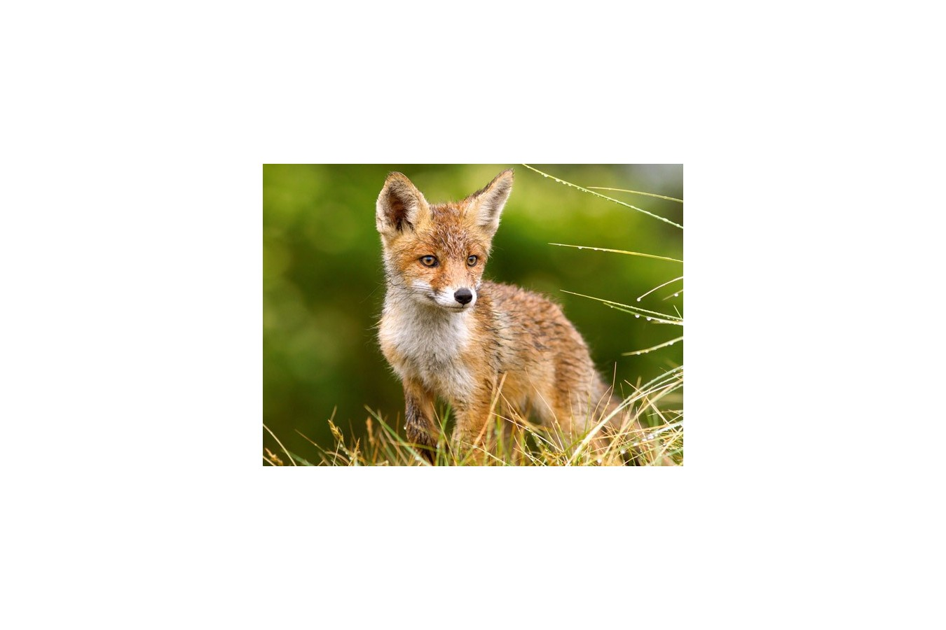 Puzzle Castorland - Fox On The Meadow, 260 Piese