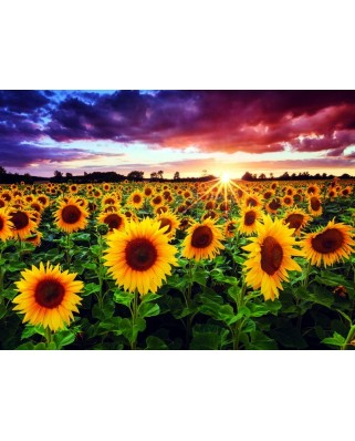 Puzzle Anatolian - Field of sunflowers at dusk, 1000 piese (1018)