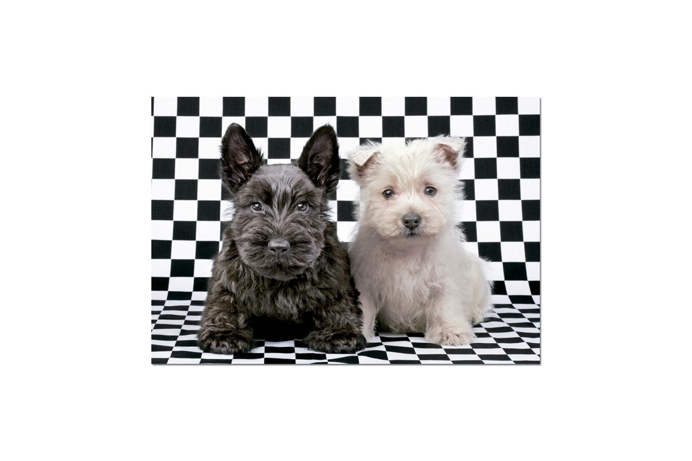 Puzzle Educa - Black and White Terriers, 500 piese (15508)